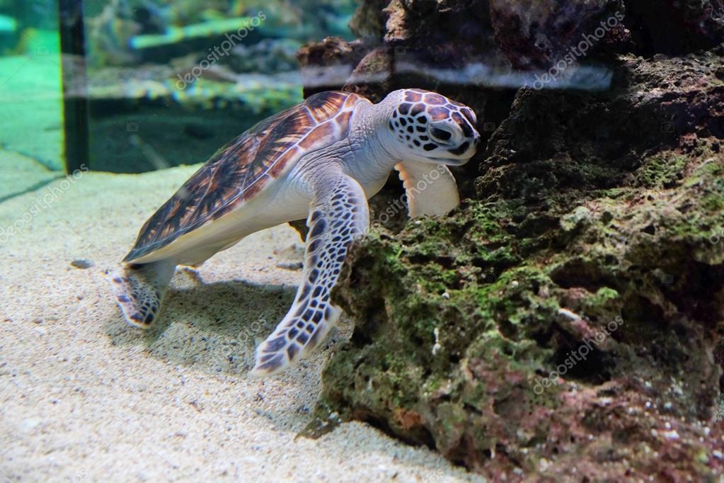 Tortue de mer dans un aquarium photographie belchonock for Aquarium tortue