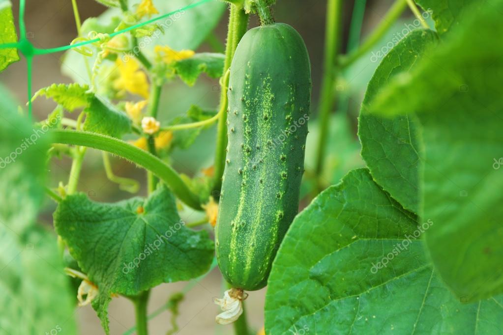 Salatalık: açık havada büyüyen