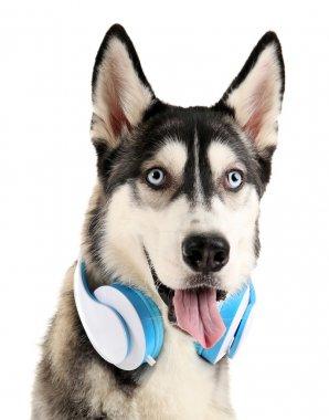 Beautiful huskies dog with headphones
