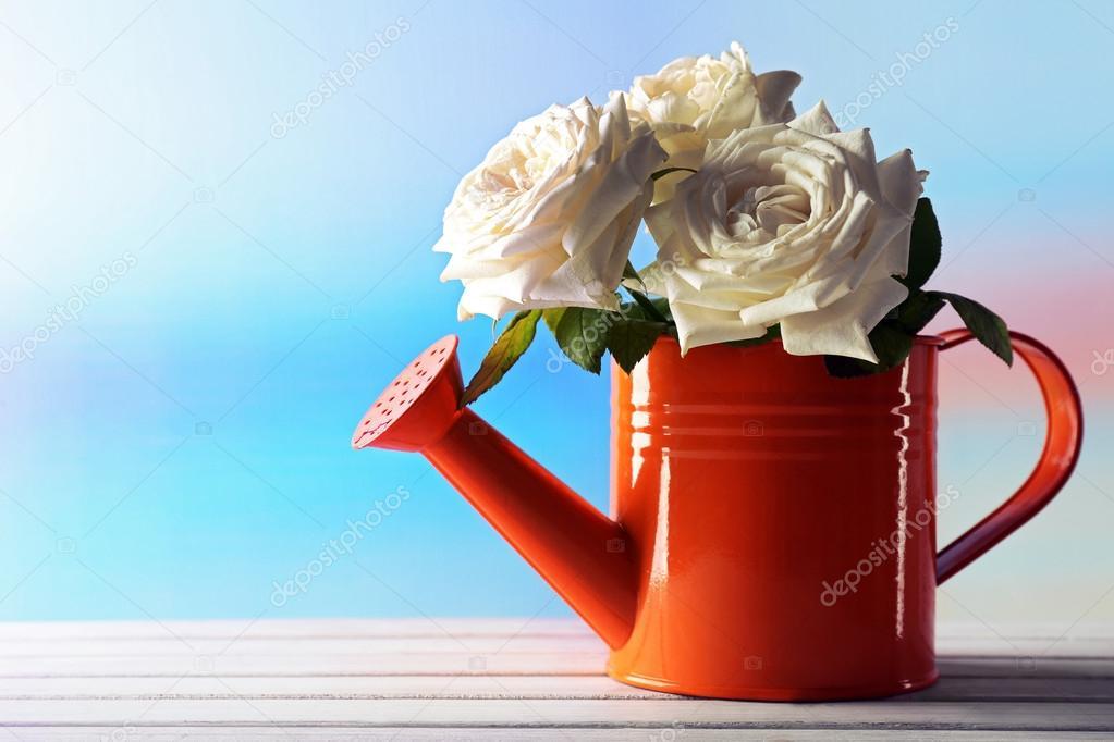 Schöne weisse Rosen in orange Gießkanne Blumen auf hellblauen ...
