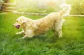 Golden Retriever on green grass