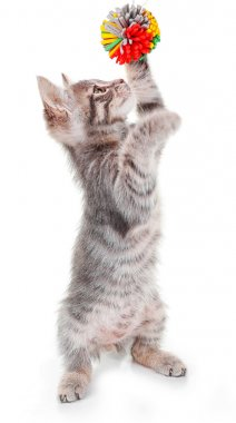 grey kitten playing with ball