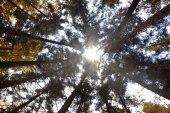 alti alberi della foresta