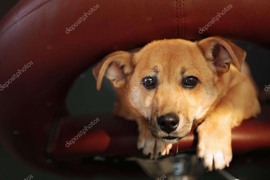 Piccolo cane che si siede su sgabelli da bar u foto stock