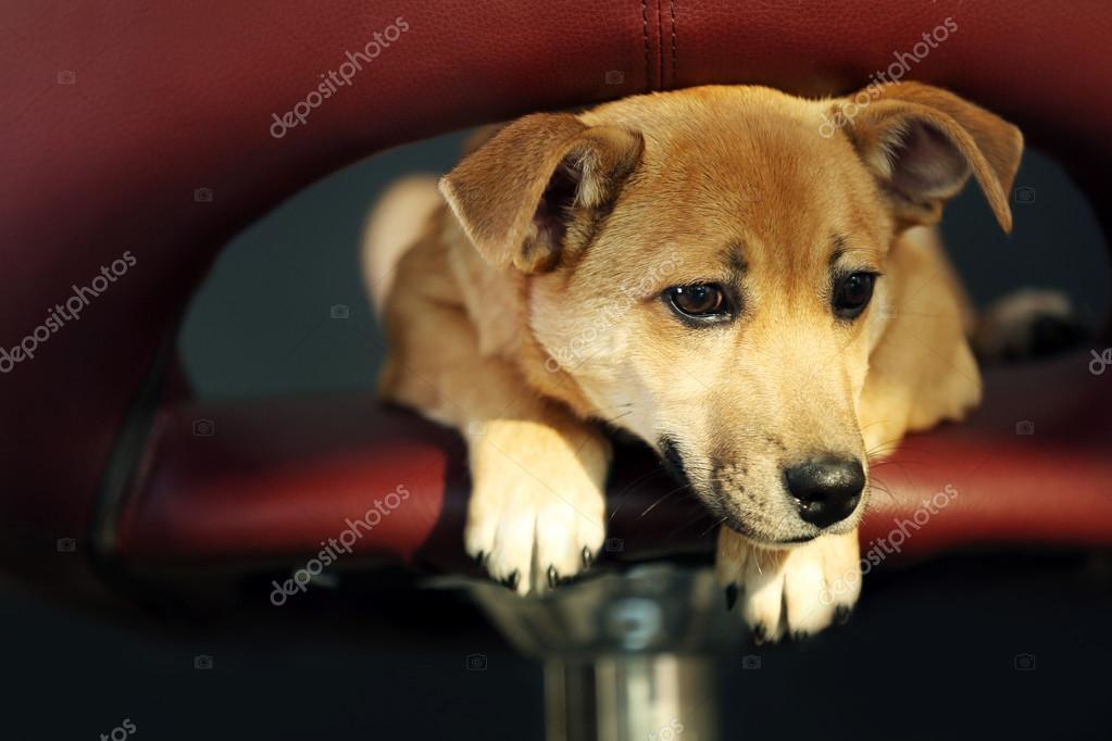 Piccolo cane sveglio divertente che si siede su sgabelli da bar