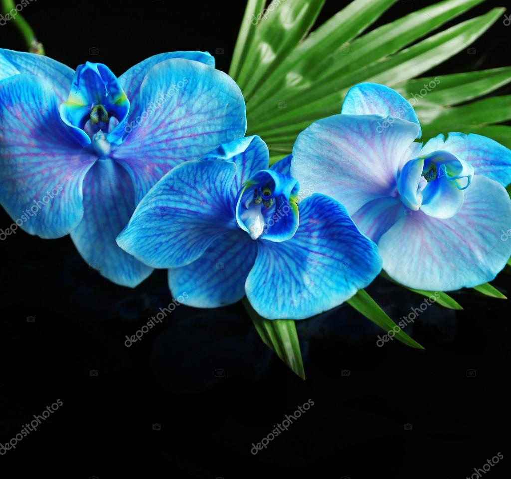 Beautiful Blue Orchid Flowers On Dark Background Stock Photo