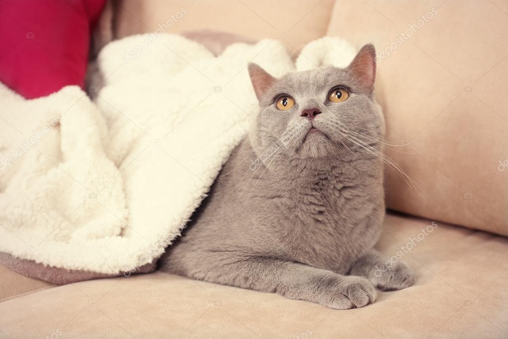 beau chat gris sous blanc plaid sur le canap avec des coussins lumineux gros plan. Black Bedroom Furniture Sets. Home Design Ideas