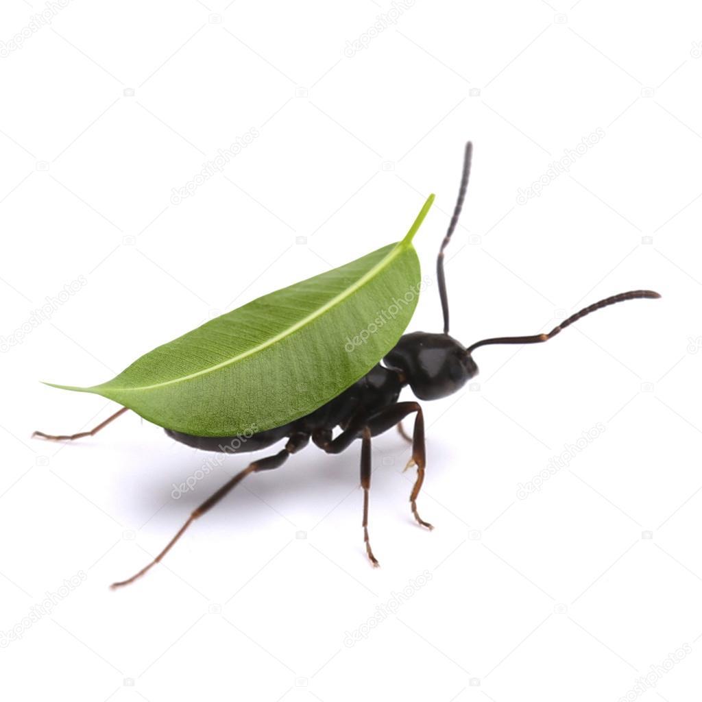 Pequeña hormiga llevar hoja — Fotos de Stock © belchonock #99975732
