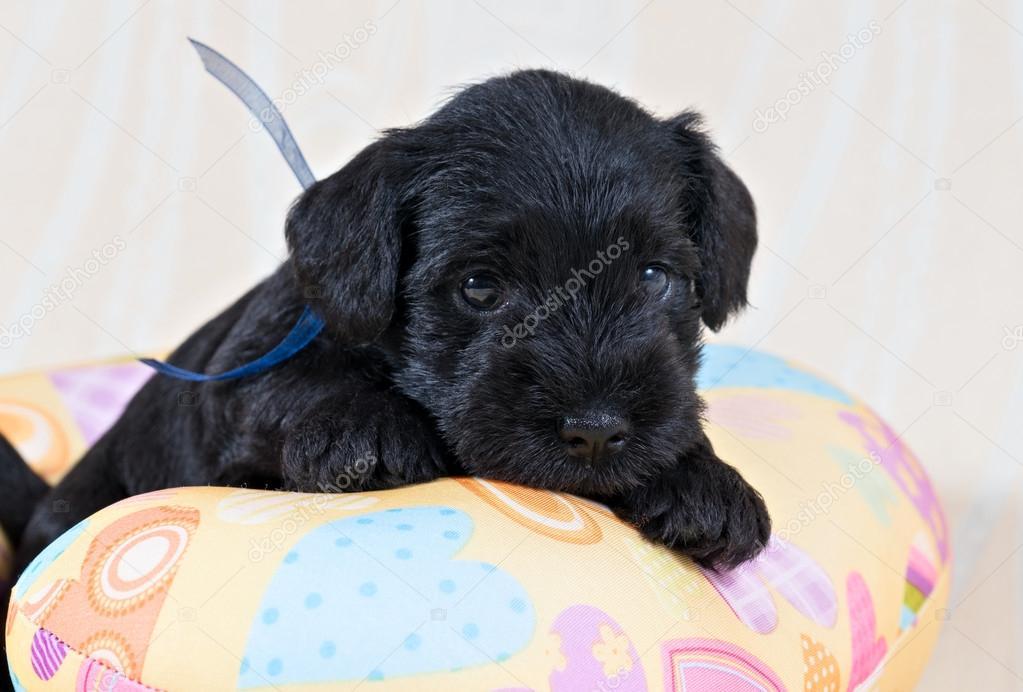 картинка щенок цвергшнауцера на желтой подушке