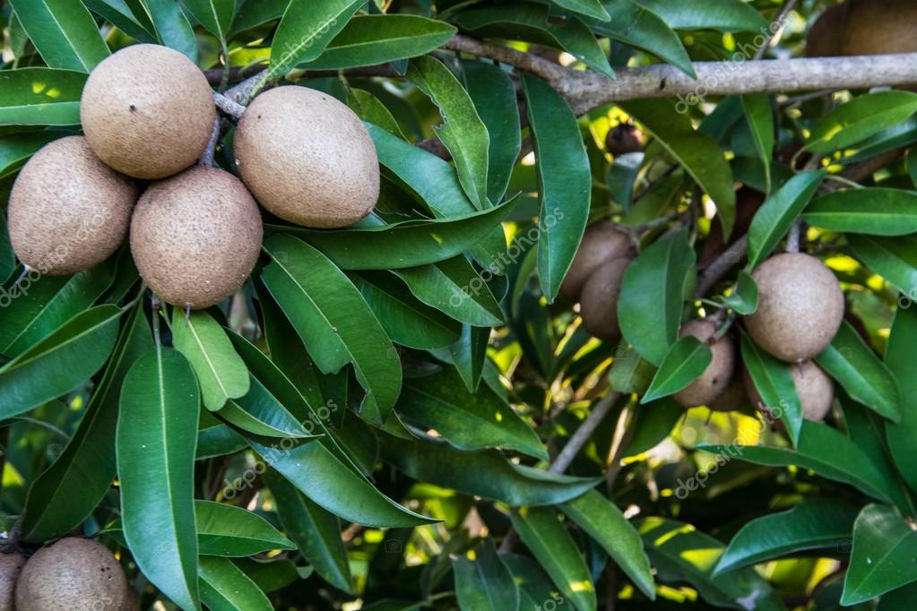 Sapodilla on tree,Fruit background