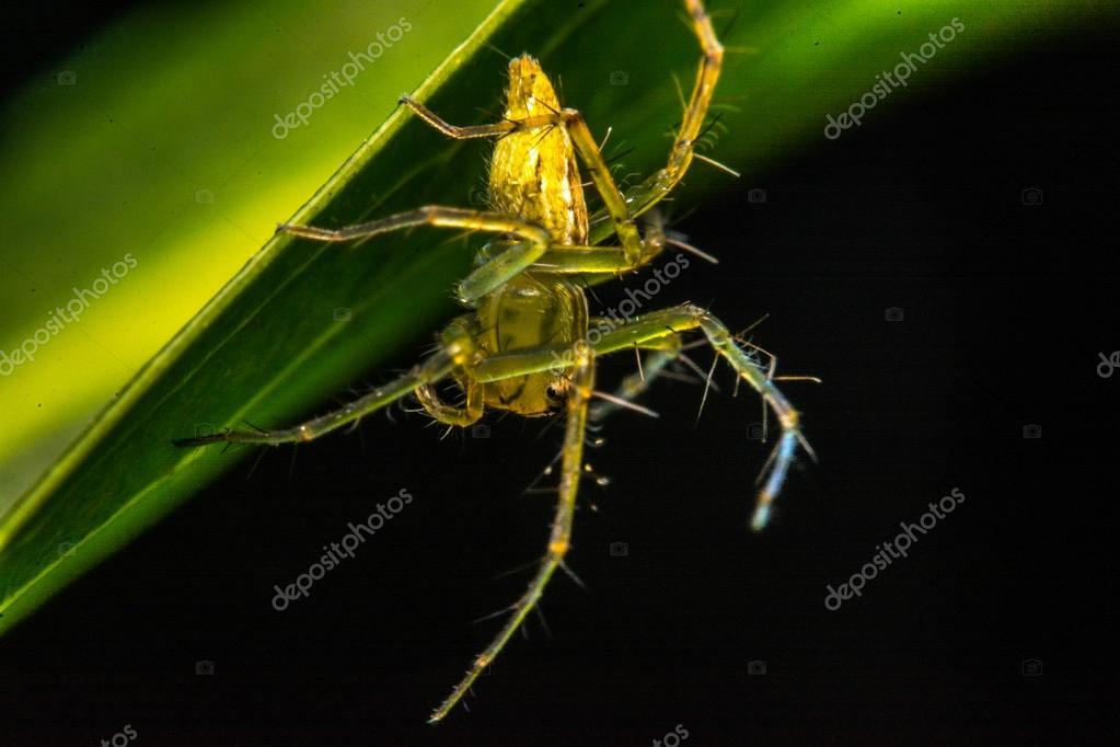 Jumping spider, Spider in Thailand