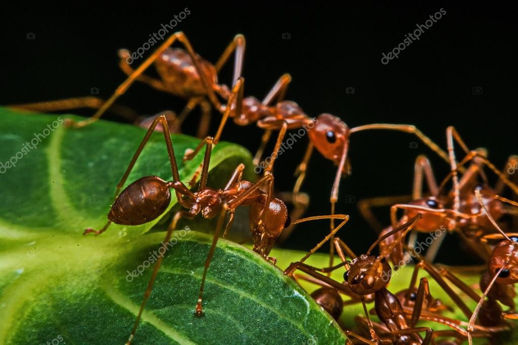 Macro, primer planos, rojas hormigas en el jardín al lado de la casa ...