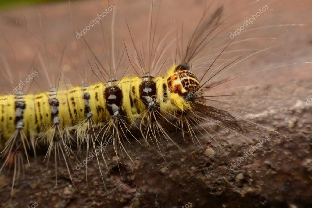 Chenille velue jaune et noire avec rostre trange asie photographie photomyheart 87902962 - Chenille jaune et noire danger ...
