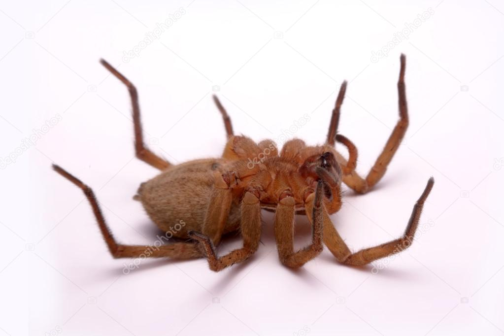 Close up huntsman spiders are isolated on white background