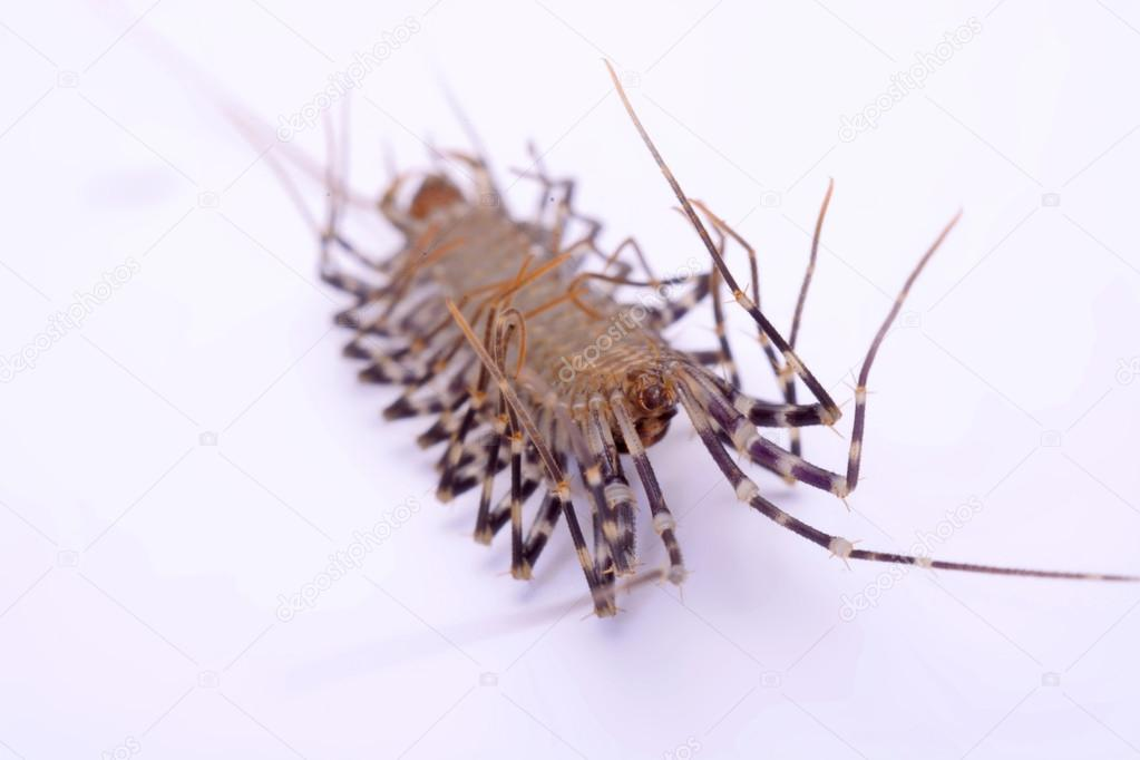 Scutigera smithii Newport (long-legged house centipede) on a white background.