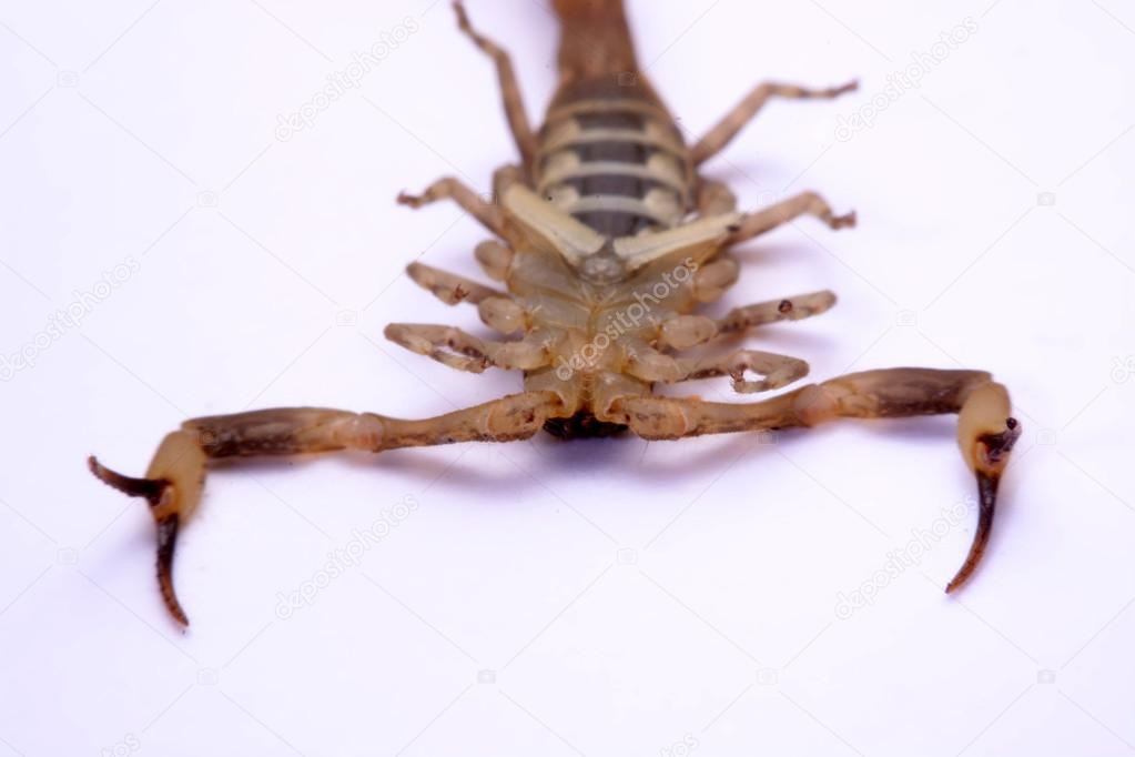 Close up Scorpion a white background