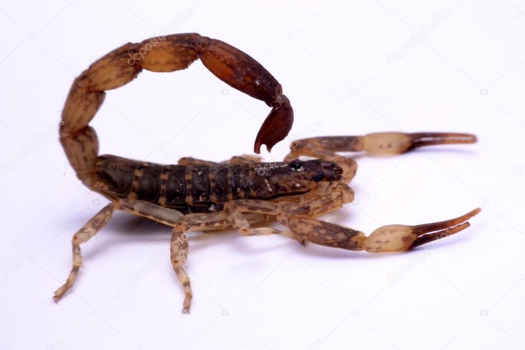 Close up Scorpion a white background.