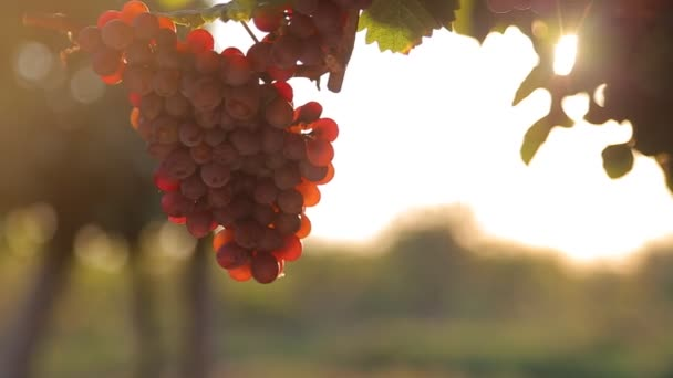 Red grape at sunset