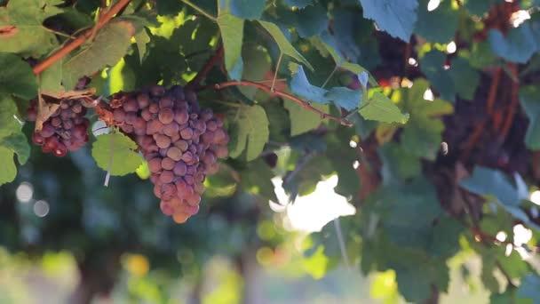 hrozny ve vinici
