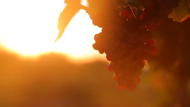 szőlő és naplemente