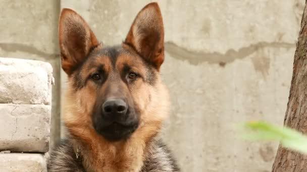 psa německého ovčáka