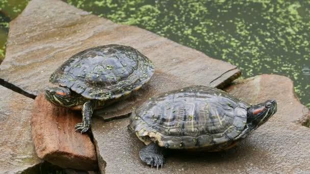 két édesvízi teknősnek