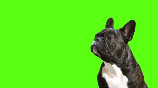 kutyafajta francia bulldog