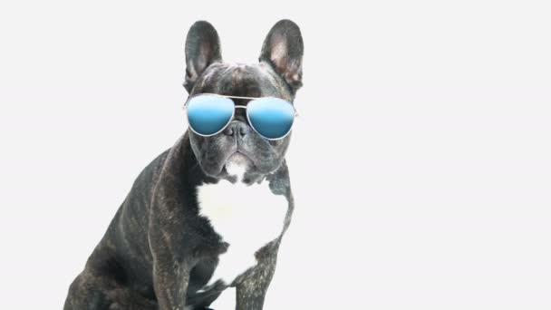 kutya tenyészt francia bulldog