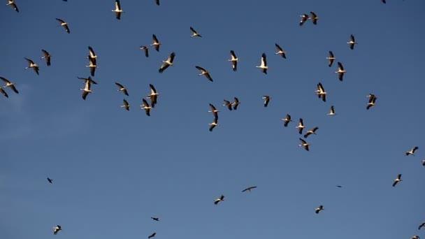 čápi letí proti modré obloze