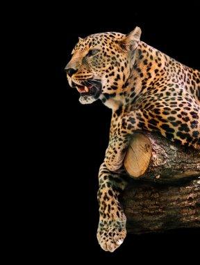 animal portrait leopard