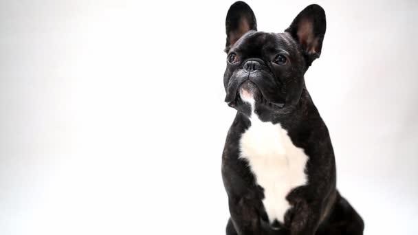 psí plemeno Francouzský buldoček posezení