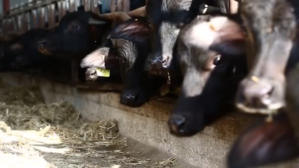 Krávy na farmě