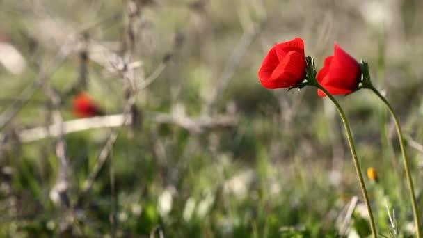 divoký červený mák