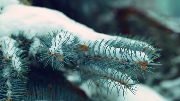 jedle zasněžený strom