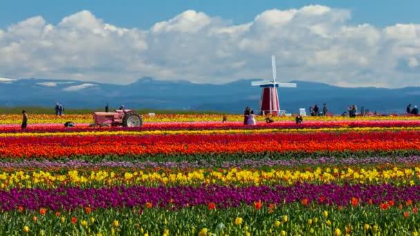 Dřevěná bota Tulip Festival, Woodburn Oregon - 31 březen 2016: Rodiny a turisty těší barevná Tulipánová pole v jarní sezóně. Tento Festival je oblíbenou destinací s místními obyvateli a turisty