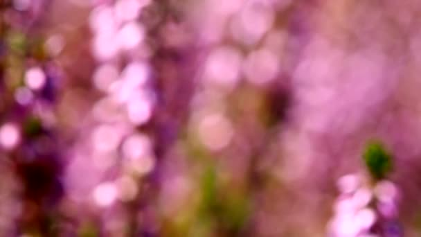 High definition movie of honey bees pollinating Heather flowers with out of focus bokeh in summer season 1080p