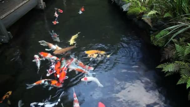 Velká skupina barevných Koi ryb koupání v zahradním rybníčku s rostlinami film 10080p
