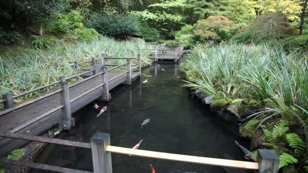 Velká skupina barevných Koi ryb koupání v zahradním rybníčku s pěší most dřevo a rostliny video 1920 x 1080