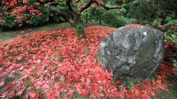 Film o pádu Red přichycena javorového listí ze stromu podzimní sezónu na svěží den v Portlandu japonská zahrada Closeup 1080p