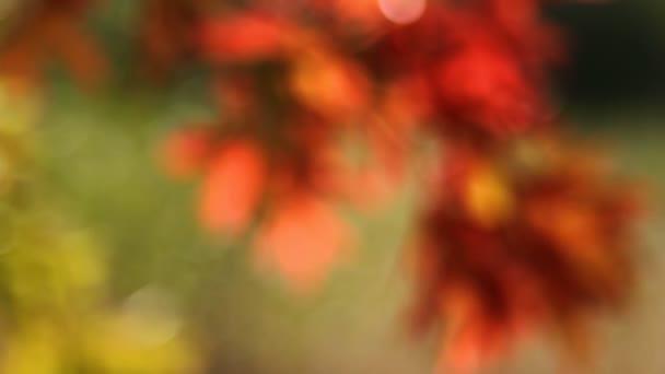 Barevný podzim dubové listy ze zaměření bokeh zaměření pozadím v podzimu 1080