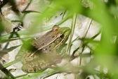 Žába dřevo za trávník na jaře