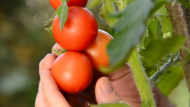 farmář zkontrolovat rajčata v zahradě