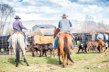 Cowboys catching newly born calves