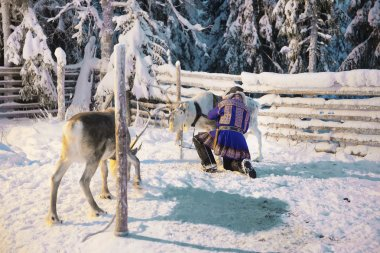 Reindeers and Suomi man in Ruka in Lapland in Finland