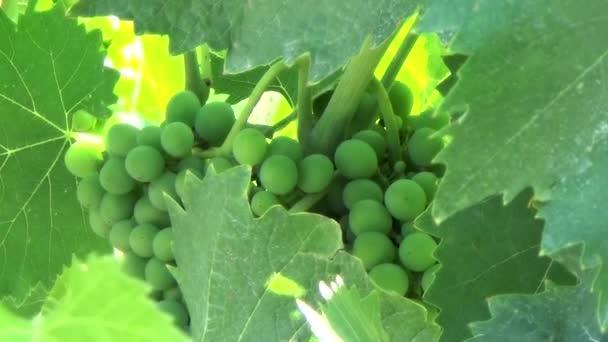 Chianti grape under leaves
