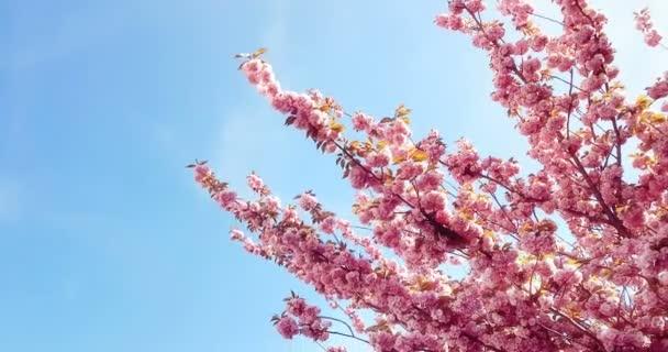 jarní strom s růžovými květy mandlové květy na větvi s pohybem ve větru, na modré obloze s denní