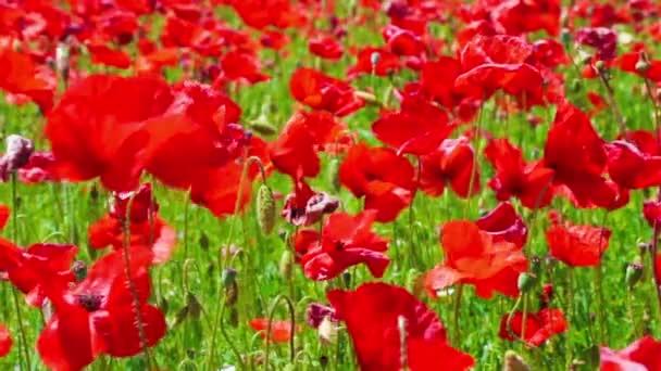 Květinová louka Rudého máku v větrný den, půdy, krajiny, venkovských pozaďových