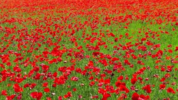 Luční květiny pole červené Vlčí máky v větrný den, venkovské