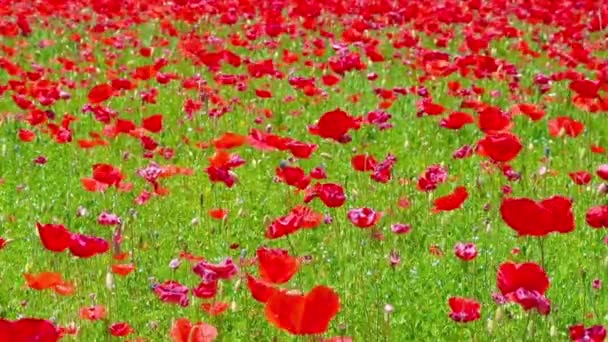 flowers meadow of red poppies field in windy day, rural background