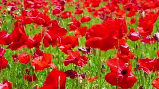 virág meadow piros pipacs mező szeles nap, a termőföld, a vidék